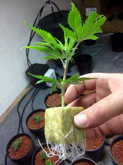 Example of a cannabis clone that has grown roots