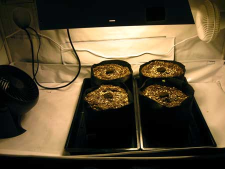These cannabis seedlings are growing in super soil under an HPS grow light