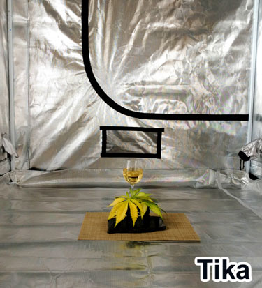 This is how you celebrate! Cannabis cultivation with class by Tika
