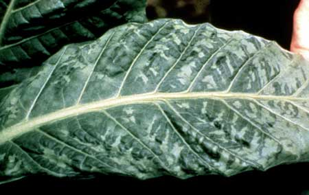 This tobacco leaf shows an example of the leaf symptoms caused by tobacco mosaic virus
