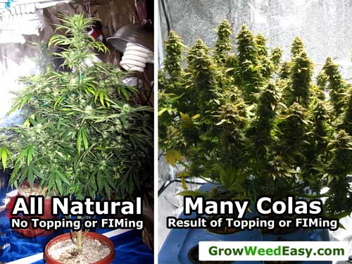 "See the natural ""Christmas tree"" growth pattern vs a plant that has been FIMed or topped"