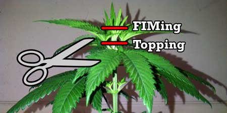 Topping vs FIMing a cannabis plant