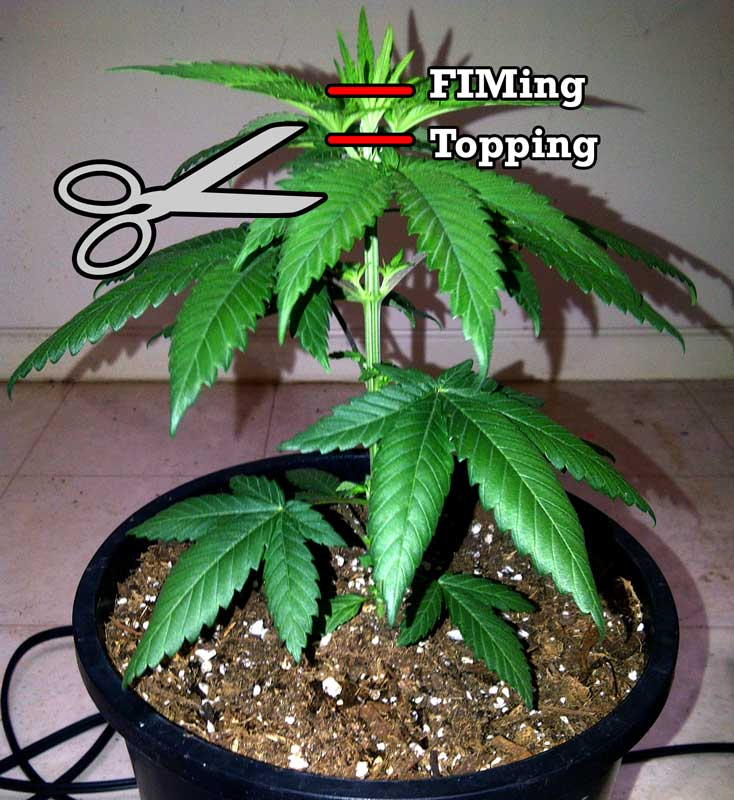 Topping vs fiming cannabis get step by step instructions for Cannabis exterieur