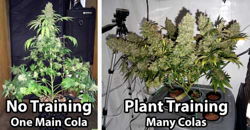 Example of an untrained cannabis plant vs a trained cannabis plant. The au naturel plant only has one long, thick cola, while the trained plant has many.