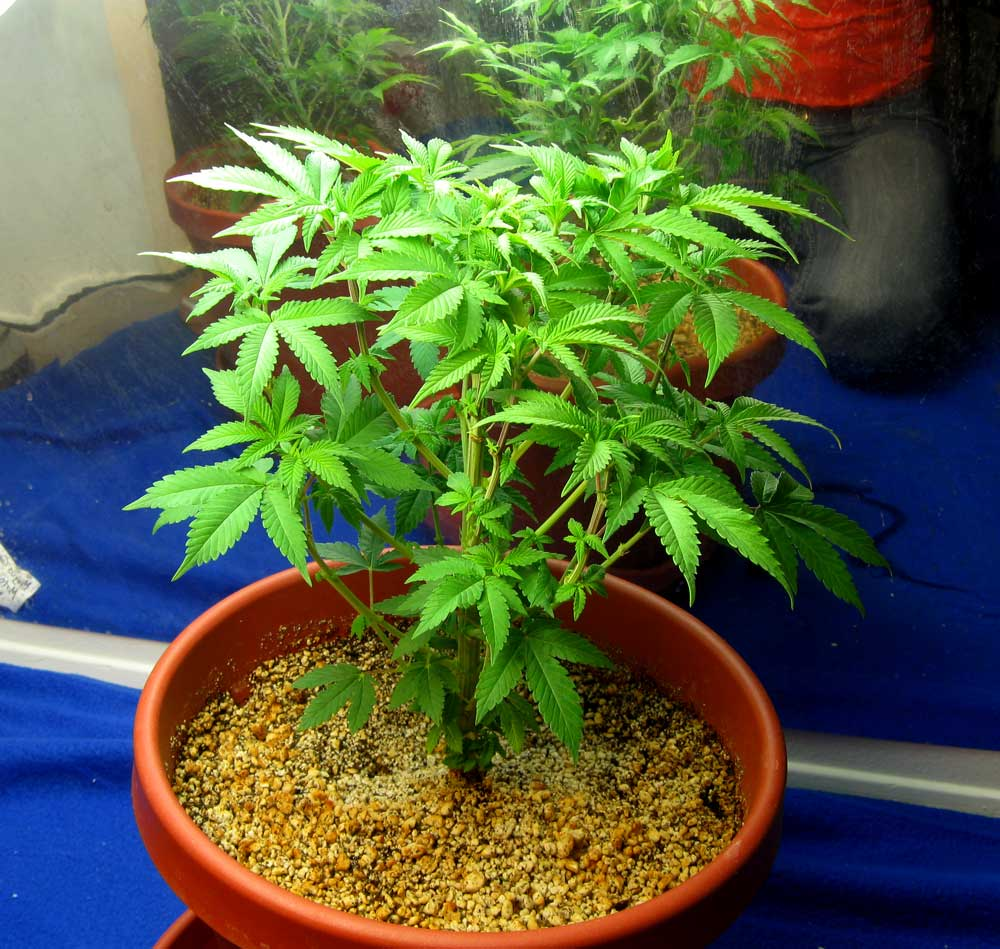 Weed plants growing in pot