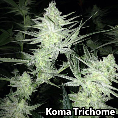 Trichomes are covering literally this entire cola and all the leaves - Grown by amazing grower Koma Trichome