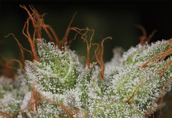 """Glitter"" on buds, or trichomes, give cannabis your potency!"