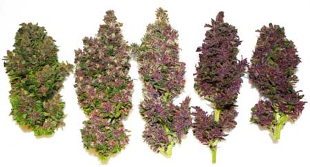 "Example of ""Smooth Smoke"" pink buds by Paradise Seeds"