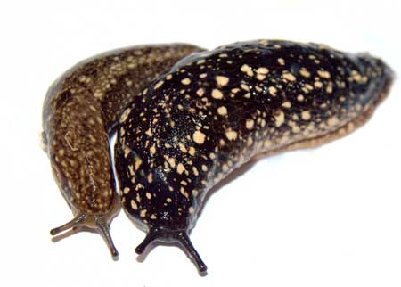 Two big gross slugs - don't let slugs attack your growing cannabis plants!