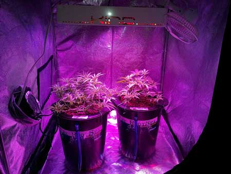 Two cannabis plants growing under an LED grow light in a grow tent
