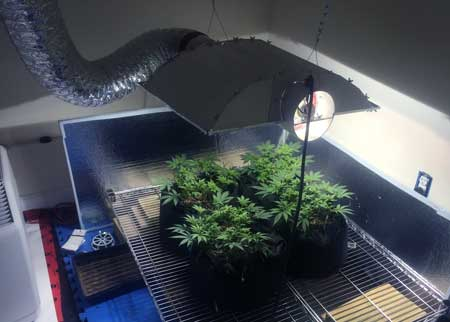 Example of vegetative cannabis plants growing under a Metal Halide (MH) grow light