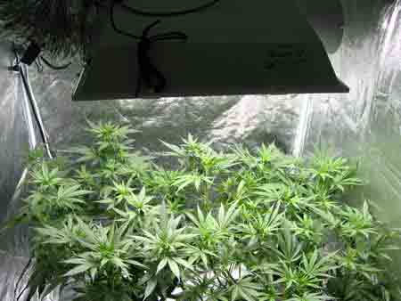 Two short, bushy, vegetative cannabis plants growing under an MH grow light