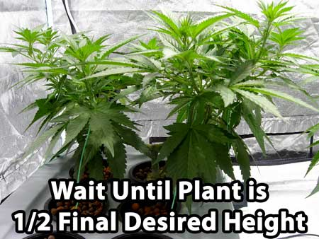 For this marijuana manifold tutorial - wait until the plant has reached half the final desired height before switching to the flowering stage