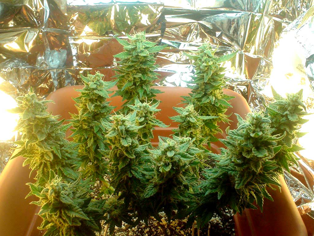 200 Cfl Microgrow Pictures Amp Write Up Grow Weed Easy
