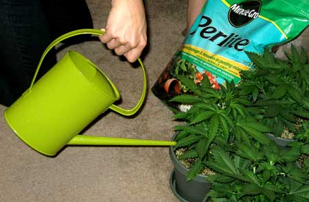 Watering a cannabis plant with a watering can - over or under watering are common problems, but if you follow the tips on this page you'll be watering your marijuana perfectly every time!