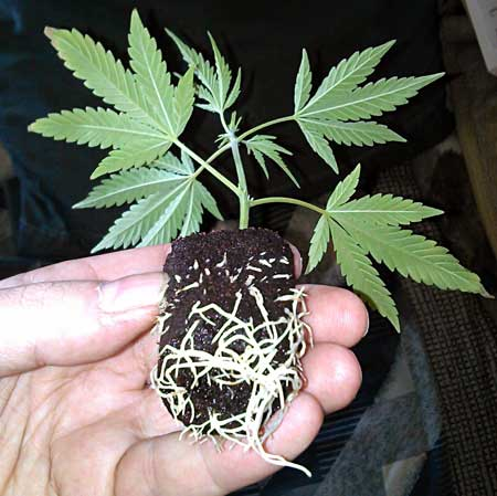 This weed clone was rooted inside a starting cube known as a
