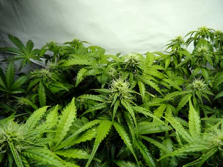 A photo of the buds on a few auto-flowering cannabis plants that are 6 weeks from seed