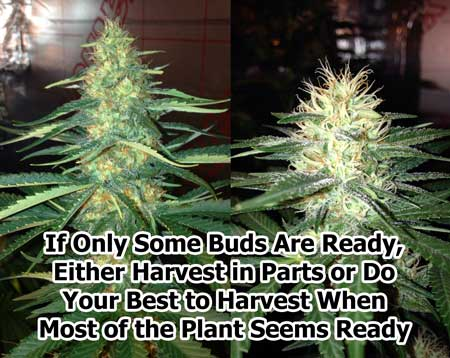 What to do if only parts of the plant are ready to harvest, while others still have a ways to go