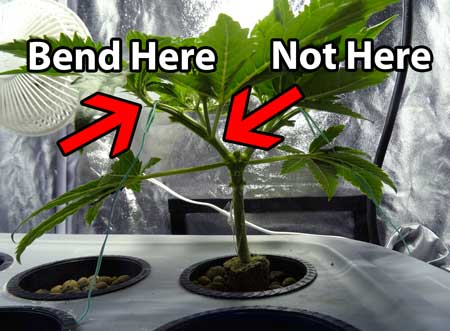 When bending a marijuana stem, try to bend where it is flexible, located near the tips of the stems