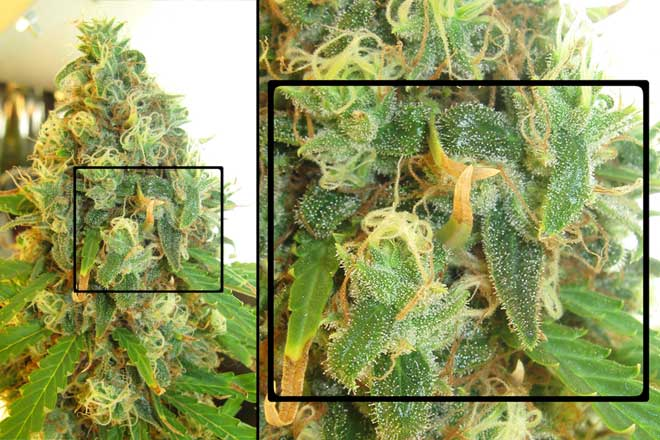 This White Rhino cannabis bud displays a close-up of trichomes - these trichomes arre mostly cloudy, with few amber trichomes