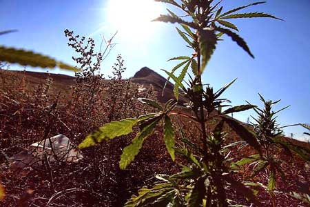 A ruderalis cannabis plant in the wild - pic taken in Russia