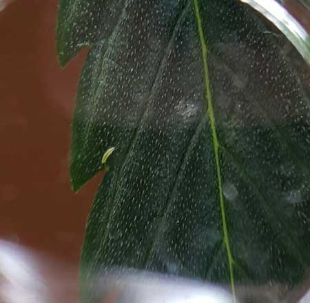 This round, tiny worm-like nymph on a cannabis leaf is a sign of thrips! Get rid of them ASAP before they colonize your plants!
