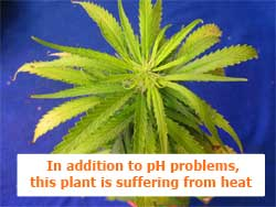In addition to pH problems, this marijuana plant is suffering from heat