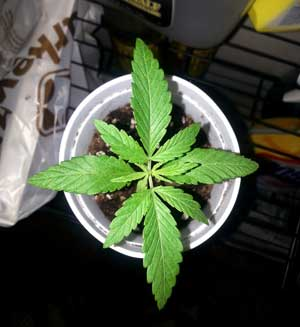 Small healthy cannabis seedling