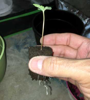 Example of a cannabis seedling in a Rapid Rooter - the fact that the roots are bursting out of the bottom is a sign the roots are ready to move into a bigger home!