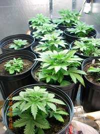 Example of young, vegetative marijuana plants!