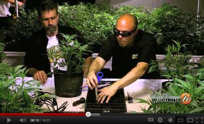 How to Defoliate Marijuana and Make clones video