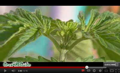 How to FIM and Top your marijuana plant video