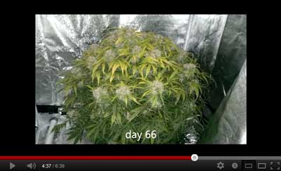 Incredible marijuana auto-flowering grow video with LED grow lights