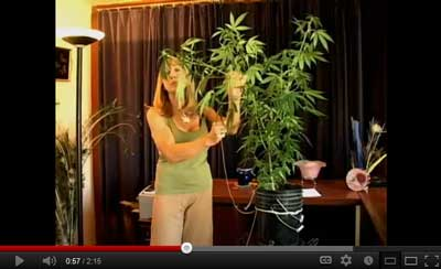 Low stress training (LST) marijuana video