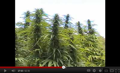 Outdoor Marijuana growing video by top grower Kog from Australia