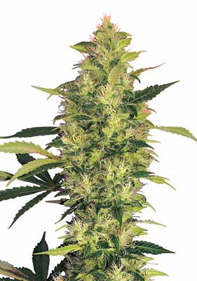 The Grow Weed Easy website will teach you how to grow your own beautiful huge cannabis colas like this one!