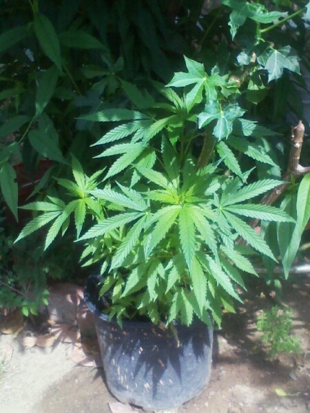 Cannabis plant grown outdoors