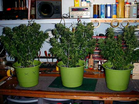 Wouldn't you like to see cannabis plants growing inside your house?