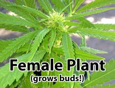 Female cannabis plants grow buds!