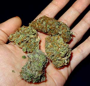 Cannabis bud assortment in hand - a variety of different strains as a result of indoor home growing!