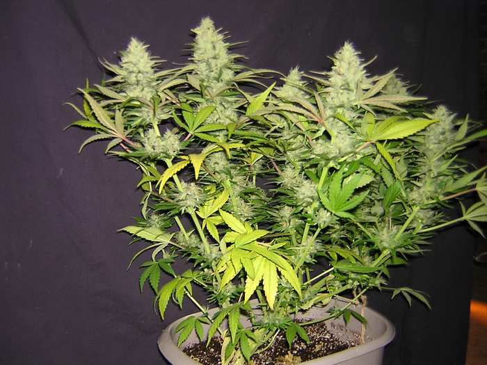 How to fix nitrogen deficiency yellow leaves grow weed easy nitrogen deficiency in late flowering is completely normal and even desired the last picture is an infographic about nitrogen and your marijuana plant mightylinksfo