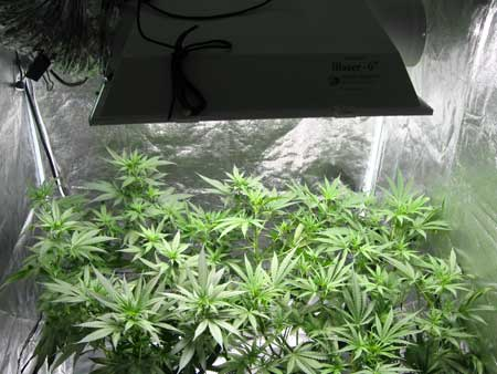 A short, bushy cannabis plant under a MH grow light