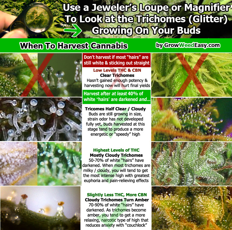When to harvest cannabis based on the trichomes