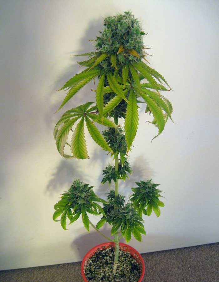 Is 12-12 From Seed Worth It? | Grow Weed Easy