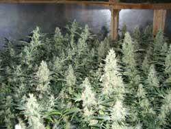 Ove biljke marihuane su obuene sa ScrOG i defolijacijom kako bi proizvele more pupoljaka marihuane