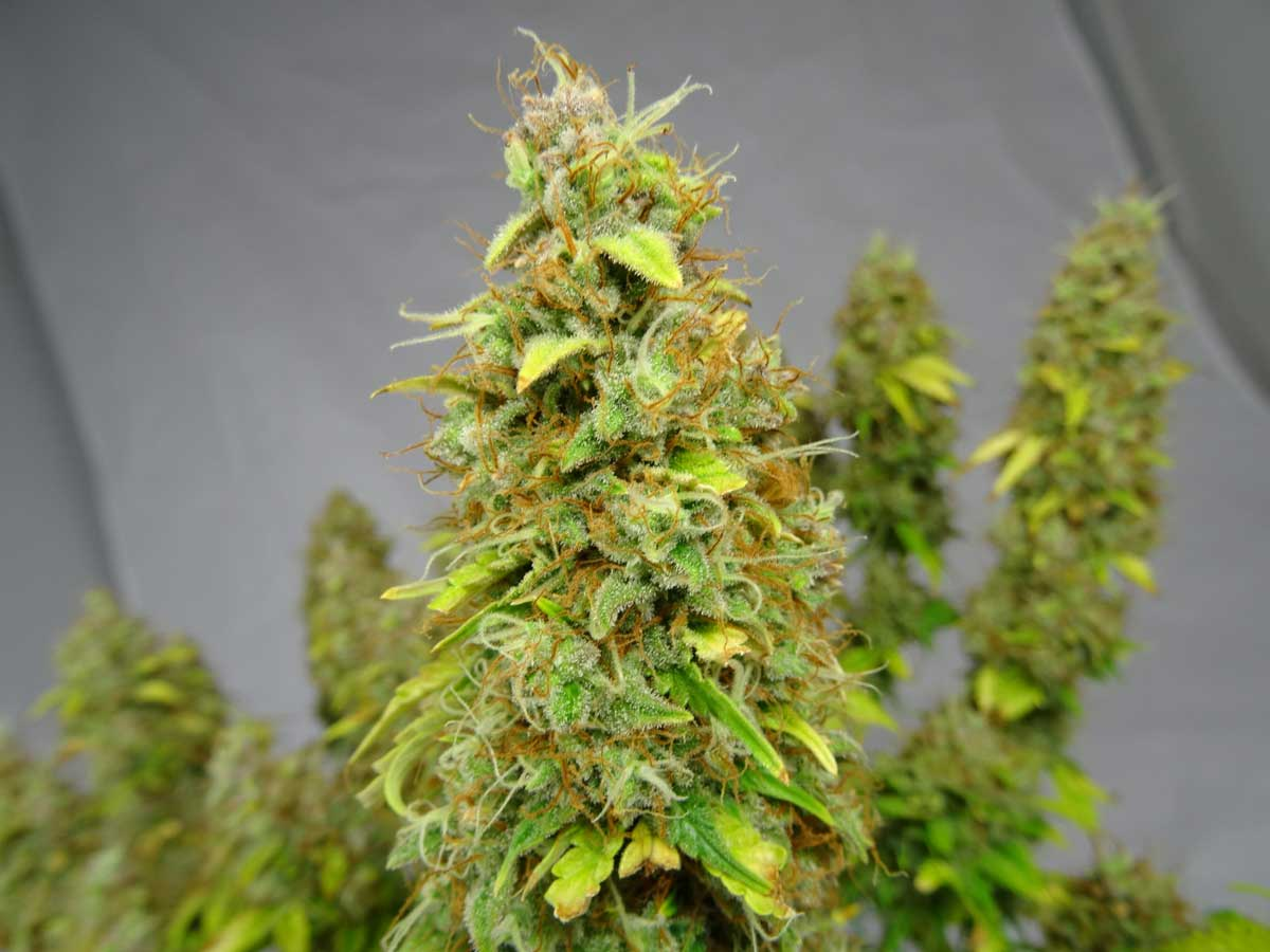 What to expect during the cannabis flowering stage grow weed easy mightylinksfo Choice Image