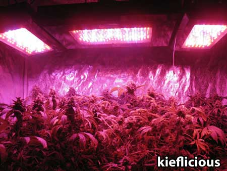 Fat cannabis buds under BlackStar LED grow panels