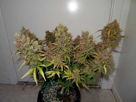 This autoflowering Blue Mazar plant by Dutch Passion had quite a bit of purple before harvest