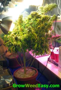 This cannabis plant was bent over to accomodate the big main cola and help get more light to the lower bud sites