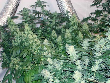 Cannabis colas - although these plants aren't ready for harvest yet, the colas are huge, and there's TONS of them! Maximizing the amount of colas you grow will increase your yields!